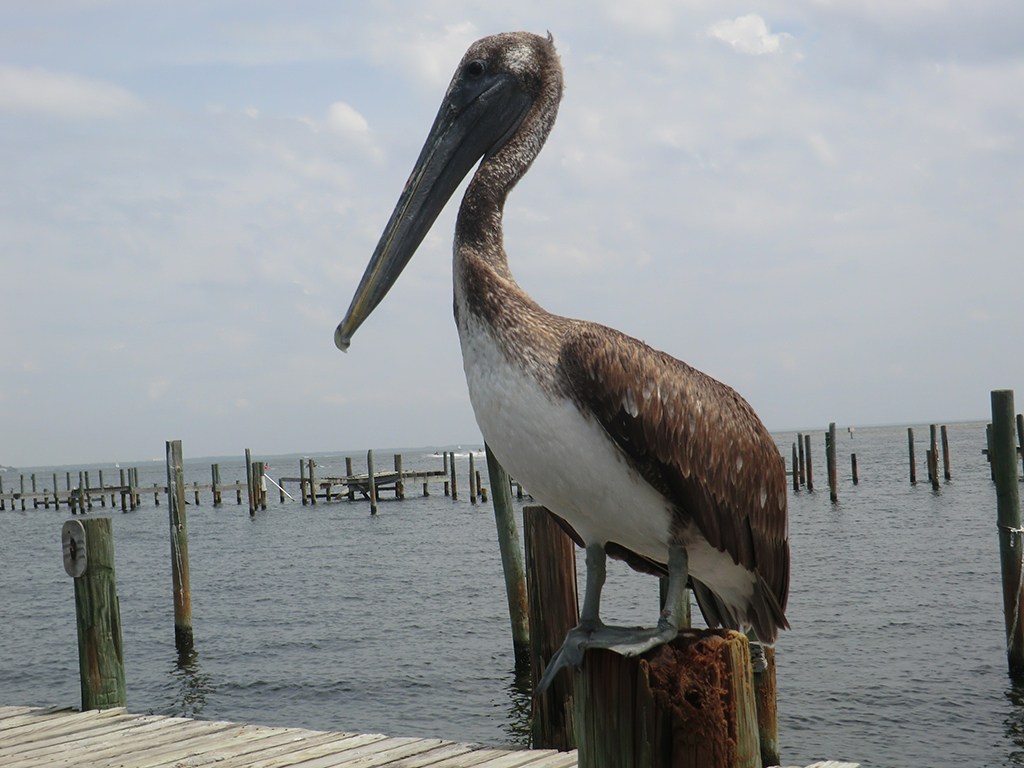 pelican near our charter