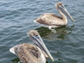pelicans swimming near our charter